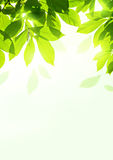 Folhas frescas do verão imagem de stock