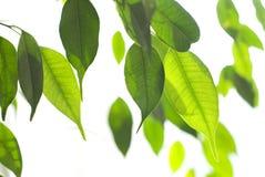 Folhas frescas do verde Foto de Stock