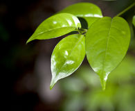 Folhas frescas do verde Fotografia de Stock
