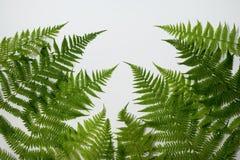 Folhas frescas do verde da samambaia fotografia de stock
