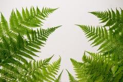 Folhas frescas do verde da samambaia imagens de stock royalty free