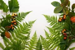 Folhas frescas do verde da samambaia imagem de stock
