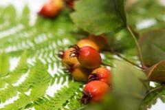 Folhas frescas do verde da samambaia imagem de stock royalty free