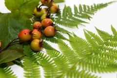 Folhas frescas do verde da samambaia fotos de stock royalty free