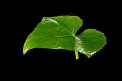 Folhas frescas do verde Isolado no fundo preto Fotos de Stock