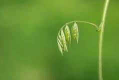 Folhas frescas dos jovens Imagens de Stock