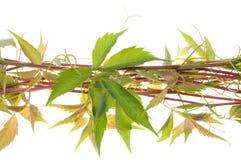 Folhas frescas dos verdes do twigswith da videira imagens de stock royalty free