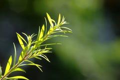 Folhas frescas e verdes Foto de Stock