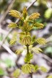Folhas frescas e verdes novas da árvore que florescem no tempo de mola dentro Foto de Stock Royalty Free