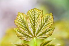 Folhas frescas e verdes novas da árvore que florescem no tempo de mola dentro Imagens de Stock Royalty Free
