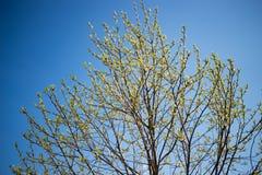 Folhas frescas emergentes em um galho contra o céu azul na mola Foto de Stock Royalty Free