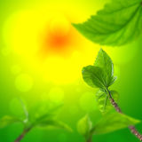 Folhas frescas, fundo Fotografia de Stock