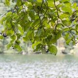 Folhas frescas na filial Imagem de Stock