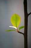 Folhas frescas na mola Fotografia de Stock Royalty Free