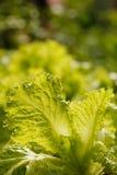 Folhas frescas, orgânicas, saudáveis & nutritious da salada fotos de stock royalty free