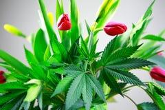 Folhas frescas verdes da marijuana grandes (cannabis), planta do cânhamo em um ramalhete agradável da flor da mola com tulipas co Fotografia de Stock Royalty Free