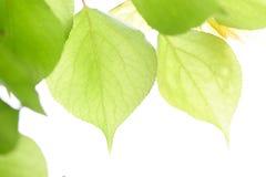 Folhas frescas verdes na luz do sol. Imagem de Stock