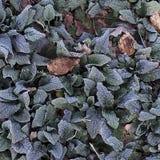 Folhas geadas imagens de stock