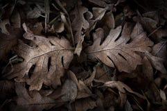 Folhas geadas Fotos de Stock
