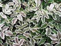 Folhas geadas Fotografia de Stock