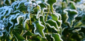 Folhas geadas açúcar da hera Fotos de Stock Royalty Free