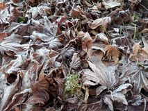Folhas geadas do inverno Fotos de Stock