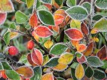 Folhas geadas minúsculas Imagem de Stock Royalty Free