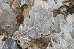 Folhas geadas no inverno Imagem de Stock Royalty Free