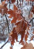 Folhas geladas Foto de Stock Royalty Free