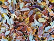 Folhas gelados Imagens de Stock Royalty Free