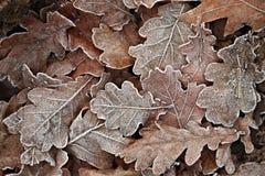 Folhas gelados caídas Foto de Stock Royalty Free