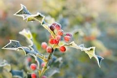Folhas gelados do azevinho foto de stock royalty free