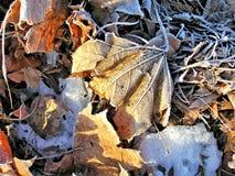 Folhas gelados do inverno Imagens de Stock Royalty Free