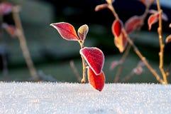 Folhas gelados do vermelho imagens de stock