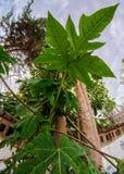 Folhas gigantes Fotografia de Stock