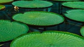 Folhas gigantes Imagens de Stock