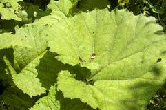 Folhas gigantes do butterbur Fotos de Stock