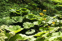 Folhas gigantes do butterbur Fotografia de Stock
