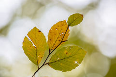 Folhas golpeadas de Autum da faia Fotos de Stock