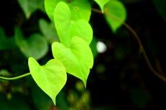 Folhas Heart-shaped fotografia de stock royalty free