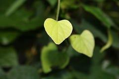 Folhas Heart-shaped fotografia de stock