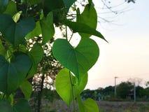Folhas Heart-shaped do verde fotos de stock