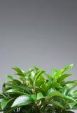 Folhas Home da planta   Fotografia de Stock