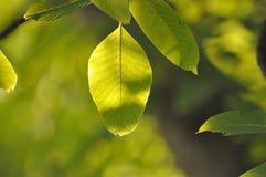 Folhas iluminadas verde na natureza do outono Imagens de Stock