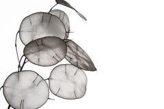 Folhas incomuns com uma ponta no luminoso Textura das folhas isoladas no fundo branco Estilo de Eco, materiais naturais Imagem de Stock