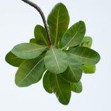 Folhas indianas da amêndoa do catappa de Ketapang Terminalia Fotografia de Stock Royalty Free