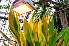 Folhas Indica de Canna sob a lâmpada no jardim botânico imagem de stock