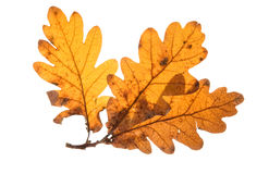 Folhas inglesas do carvalho Fotos de Stock Royalty Free