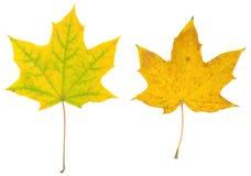 Folhas isoladas da queda no fundo branco Imagens de Stock