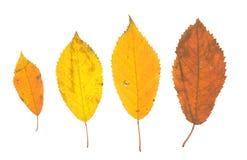 Folhas isoladas da queda no fundo branco Imagens de Stock Royalty Free
